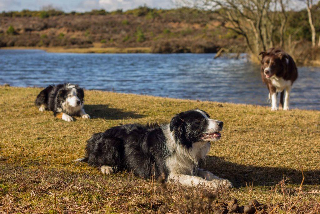 Border Collies at Slufter's Pond