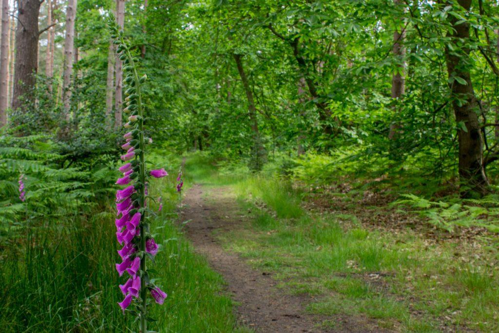 Foxglove by a path
