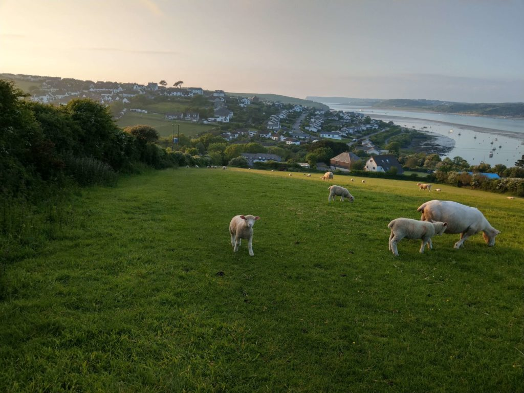 Sheep in a field with coastline in background